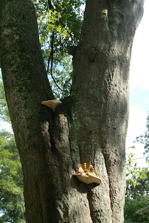 Fungus on upper trunk