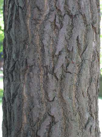 Gingko Bark