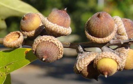 Southern Red Oak Acorns