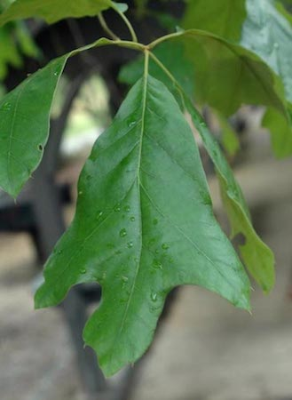 Southern Red Oak Leaf (2)