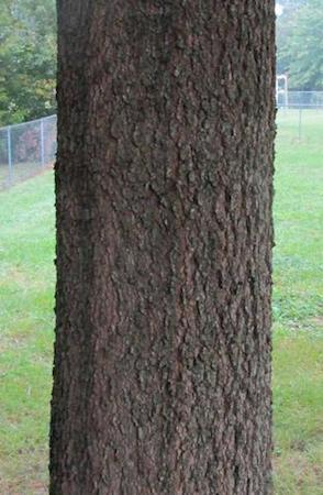 Willow Oak Bark--Young Tree