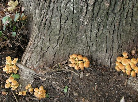 Mushrooms that attack trees - 2