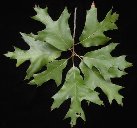 Southern Red Oak Leaves (1)