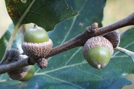 Post Oak Acorns